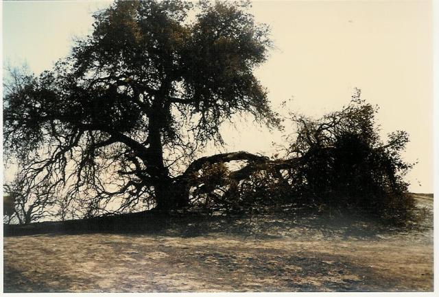 """BABA'S TREE days after what Meher Mount calls the """"New Life Fire"""" which occurred on October 14, 1985. (Sam Ervin photo, 1985.)"""
