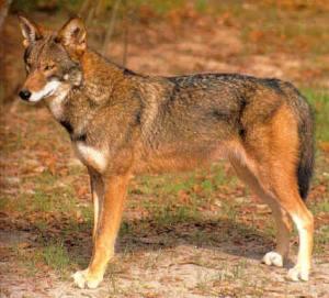 brothwolf